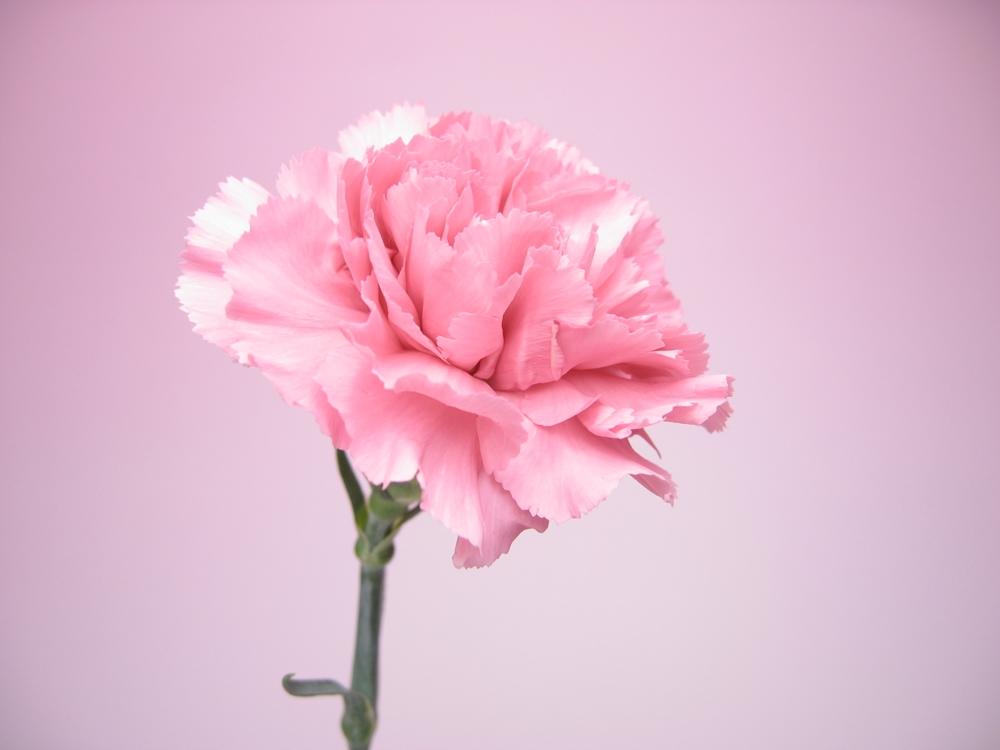 赤とピンクのカーネーションの無料写真4枚