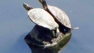 恋人?夫婦?二匹のミドリ亀が寄り添う無料写真