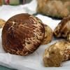 高級食材の定番!松茸のフリー写真1枚