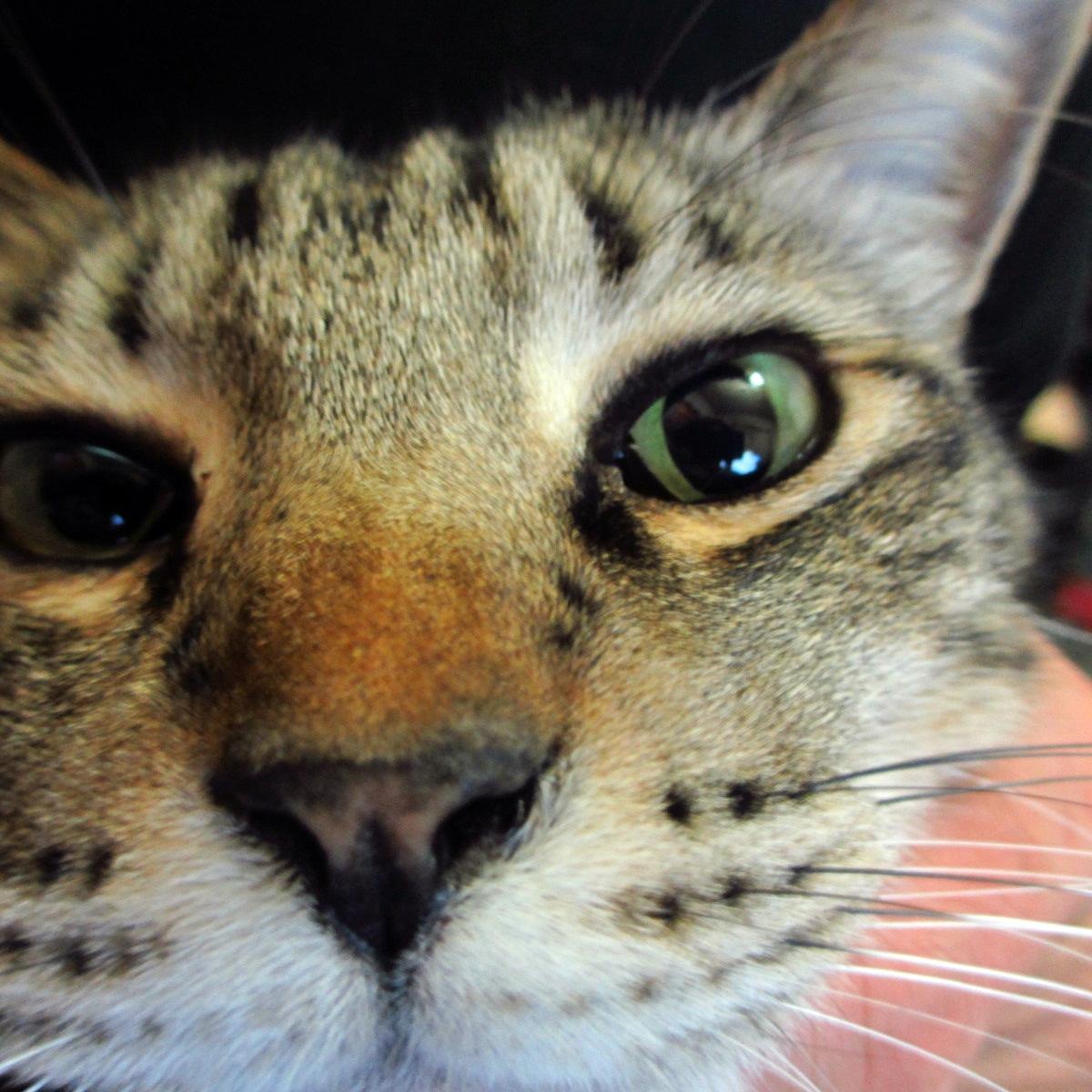 ドアップ撮影!キジトラ猫のフリー写真