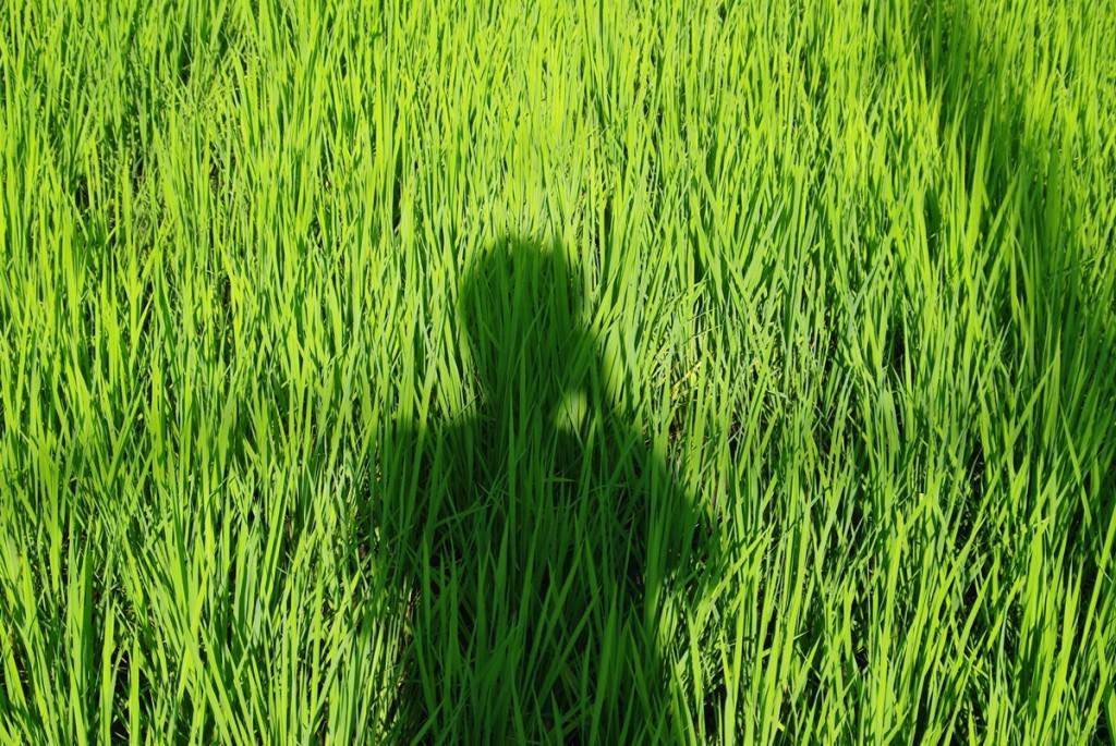 田んぼのフリー写真