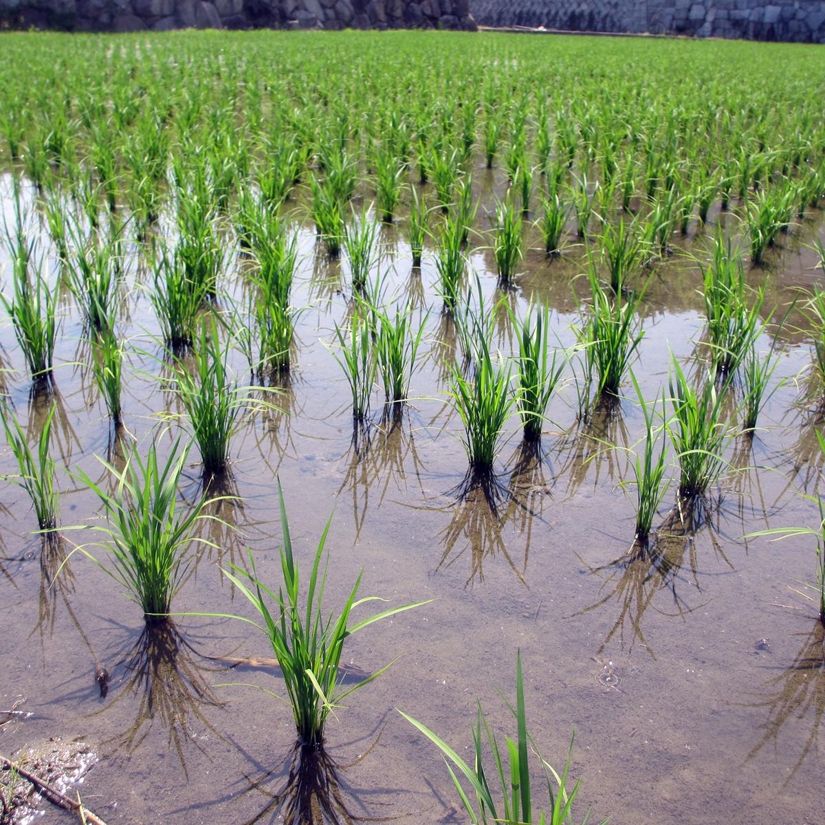 田植え 稲 2