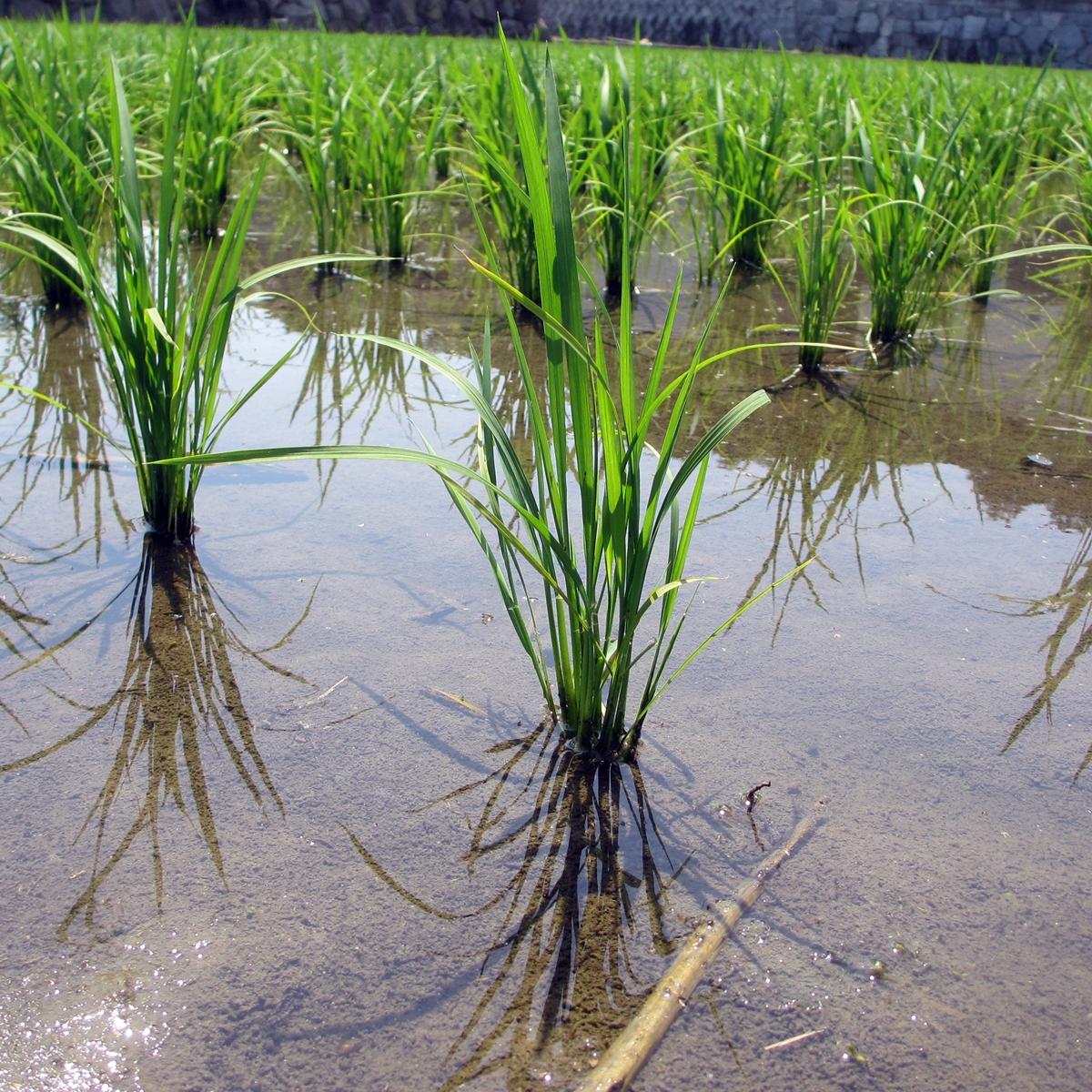 田植え 稲 1