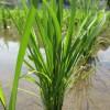 田植えしたばかりの稲の無料写真