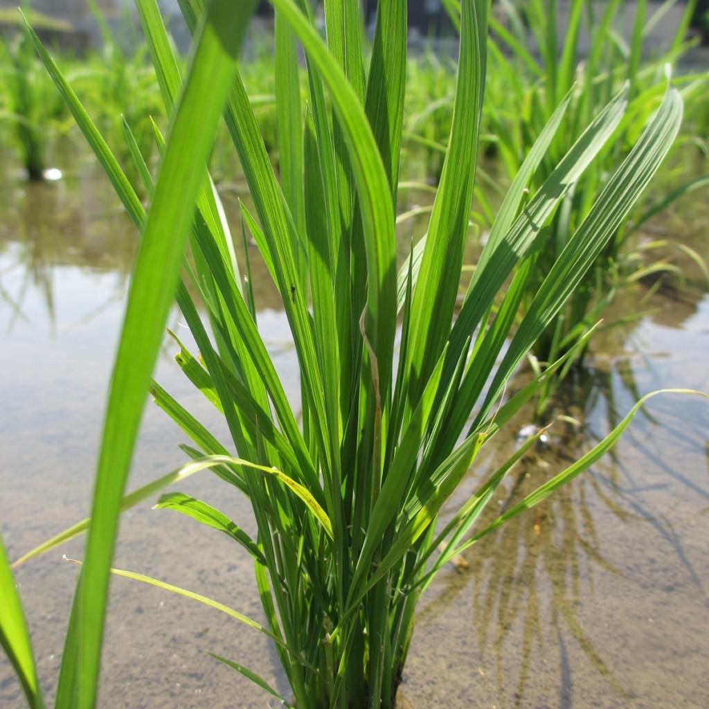 田植え 稲 3