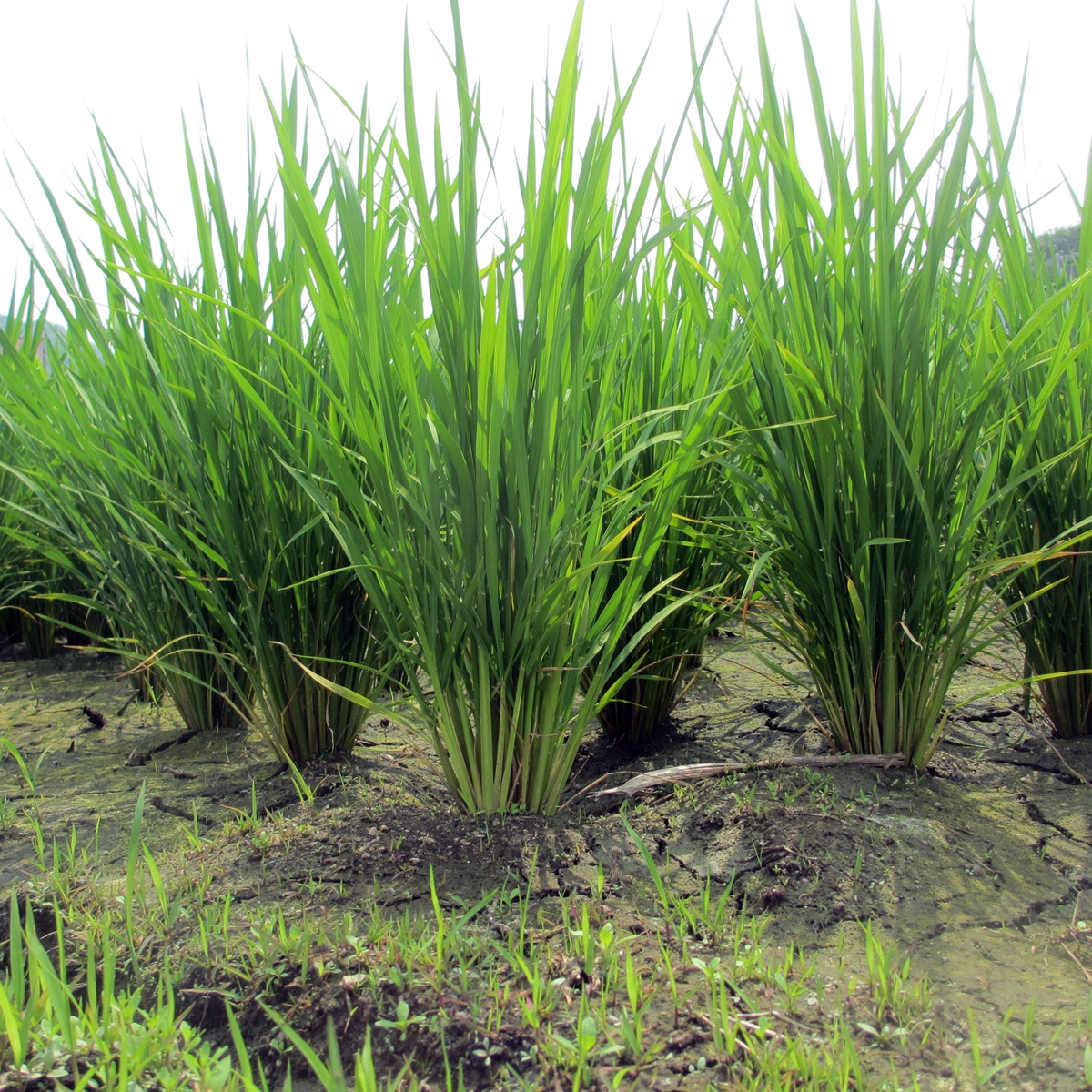 田んぼの稲の写真(6月)20150617-00