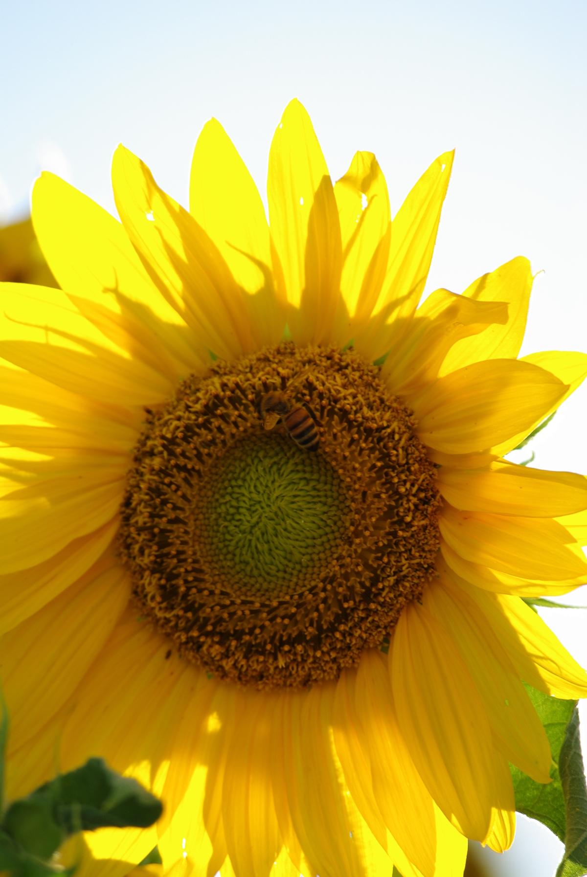 向日葵のフリー写真6