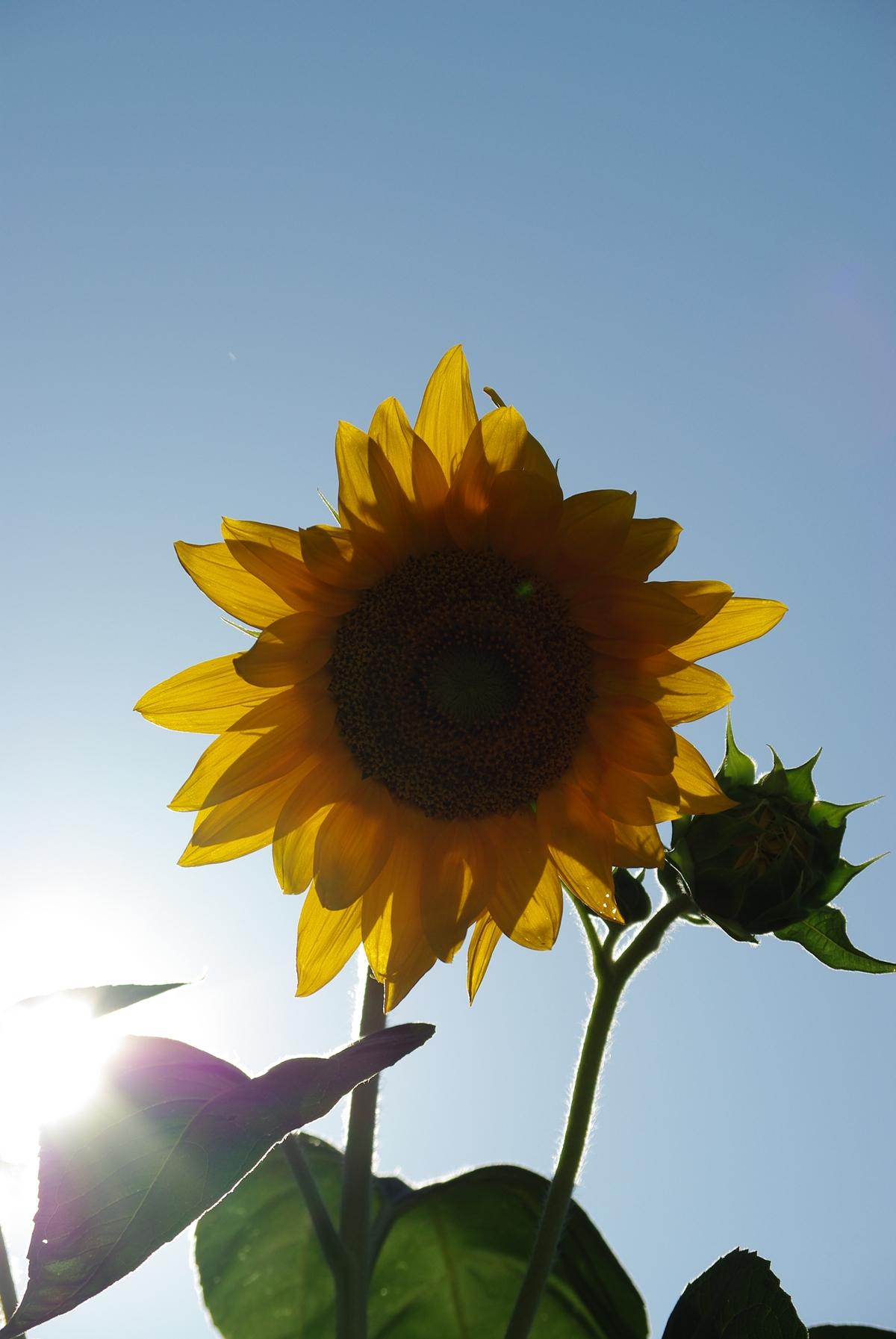 向日葵のフリー写真5