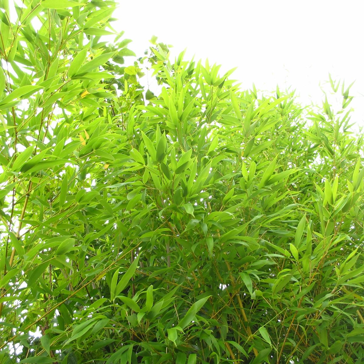 竹のフリー写真20150630 (2)