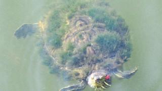 縁起が良くて長寿の象徴!『蓑亀』のフリー写真