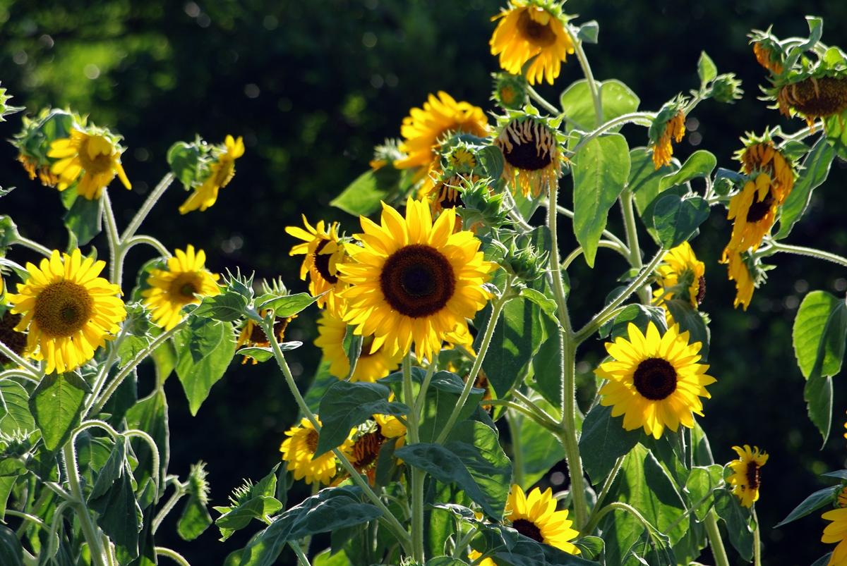 向日葵のフリー写真1