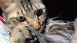 デジカメの紐で遊ぶ猫の無料写真