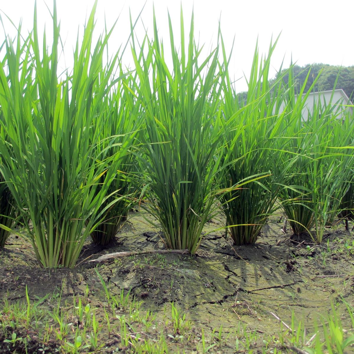 田んぼの稲の写真(6月)20150617-01
