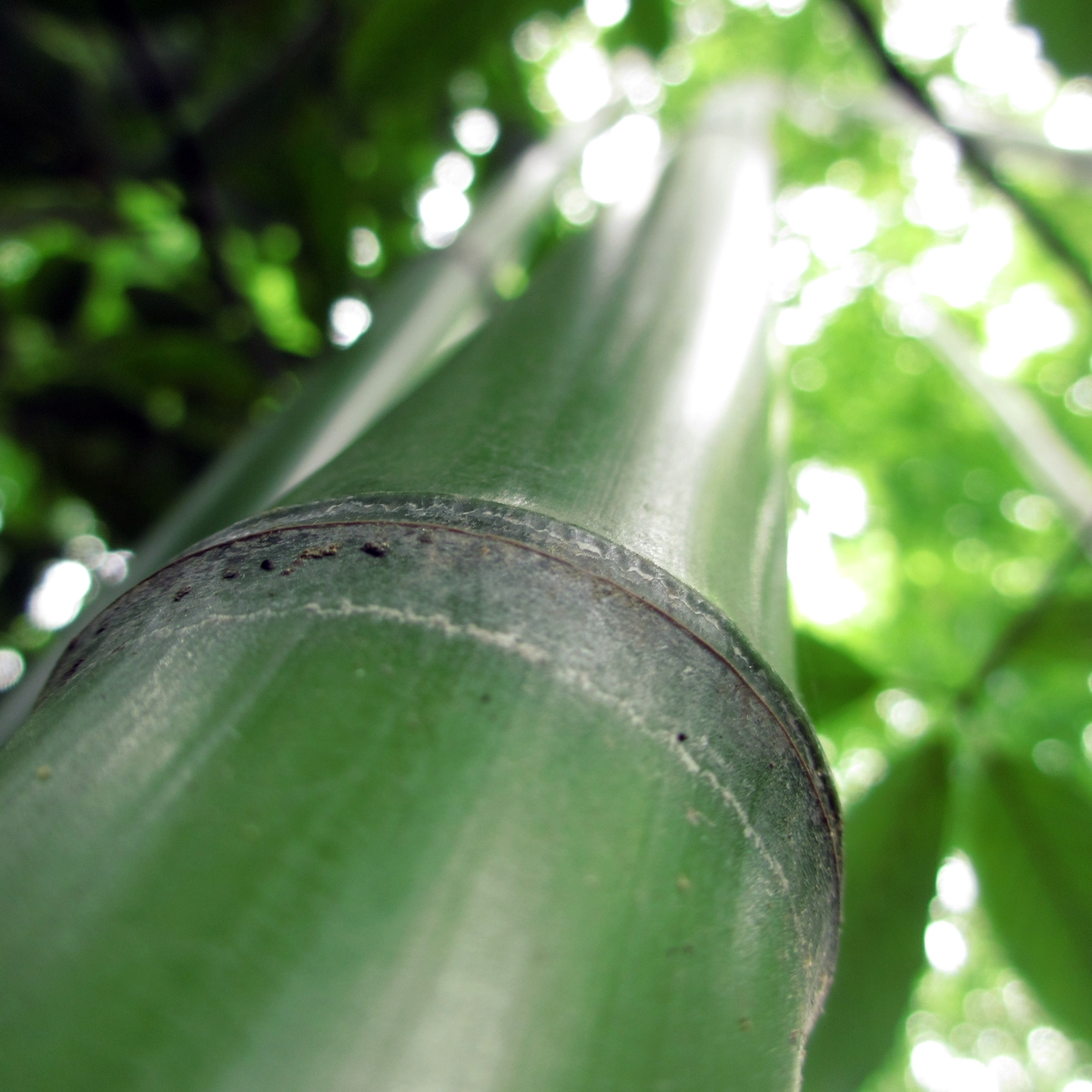 竹のフリー写真20150630 (13)