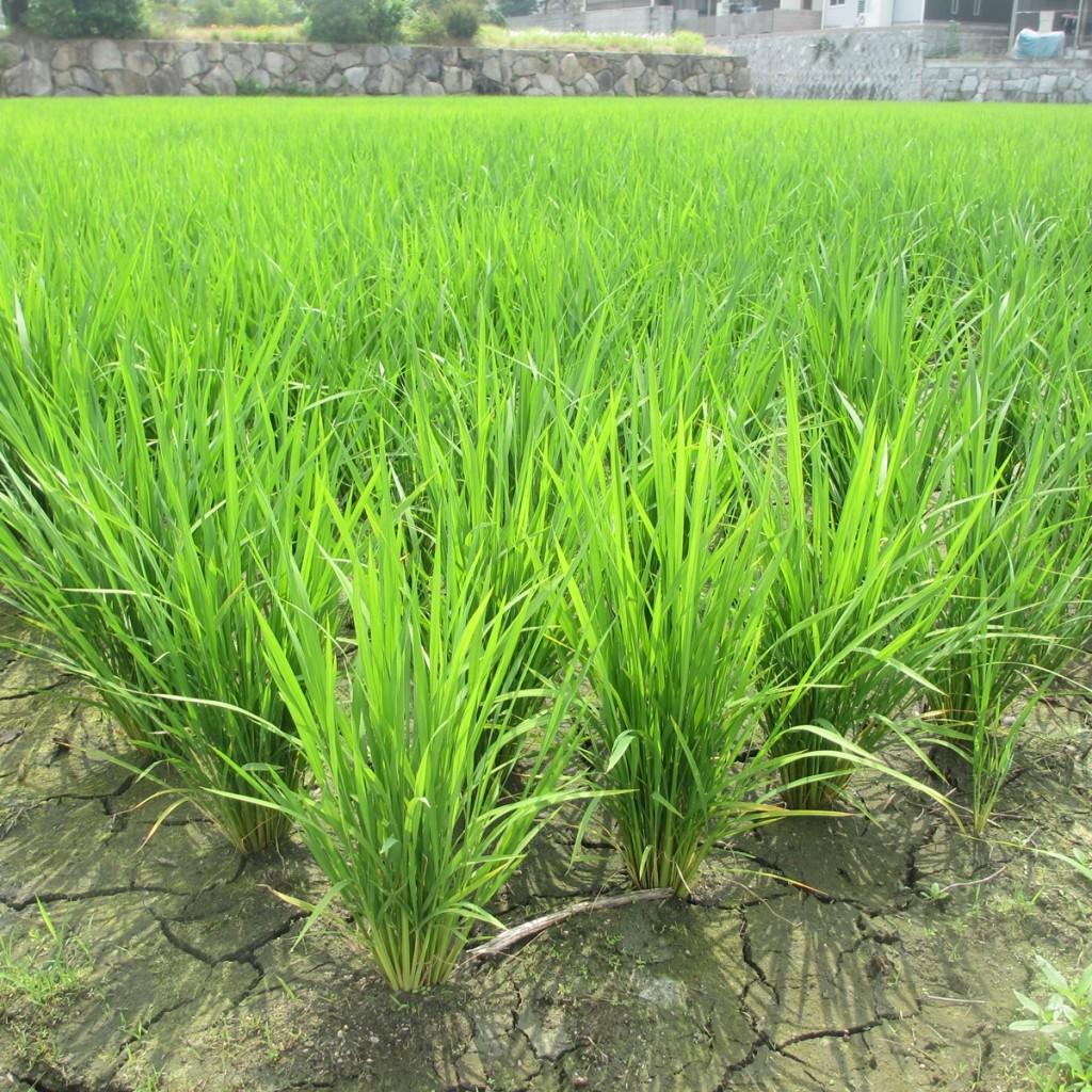 田んぼの稲の写真(6月)20150617-02