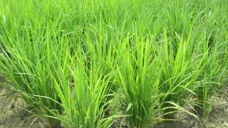 6月の田んぼの稲の無料写真