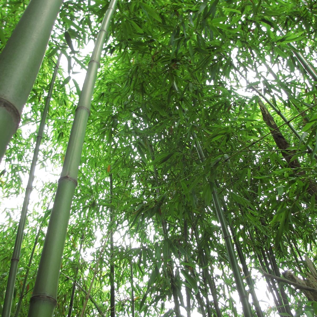 竹のフリー写真20150630 (16)