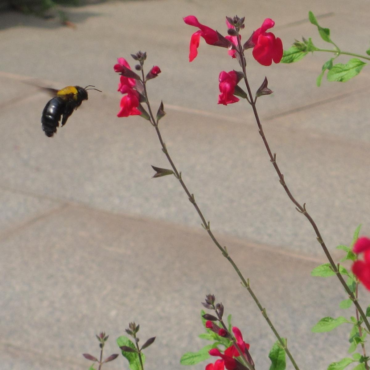 花の蜜を吸うダンゴバチの無料写真-03