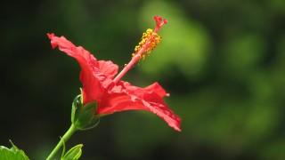 高知県では普通に道端に咲いている!南国の花、ハイビスカスの無料動画