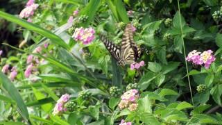 花の蜜を吸うアゲハチョウの無料写真