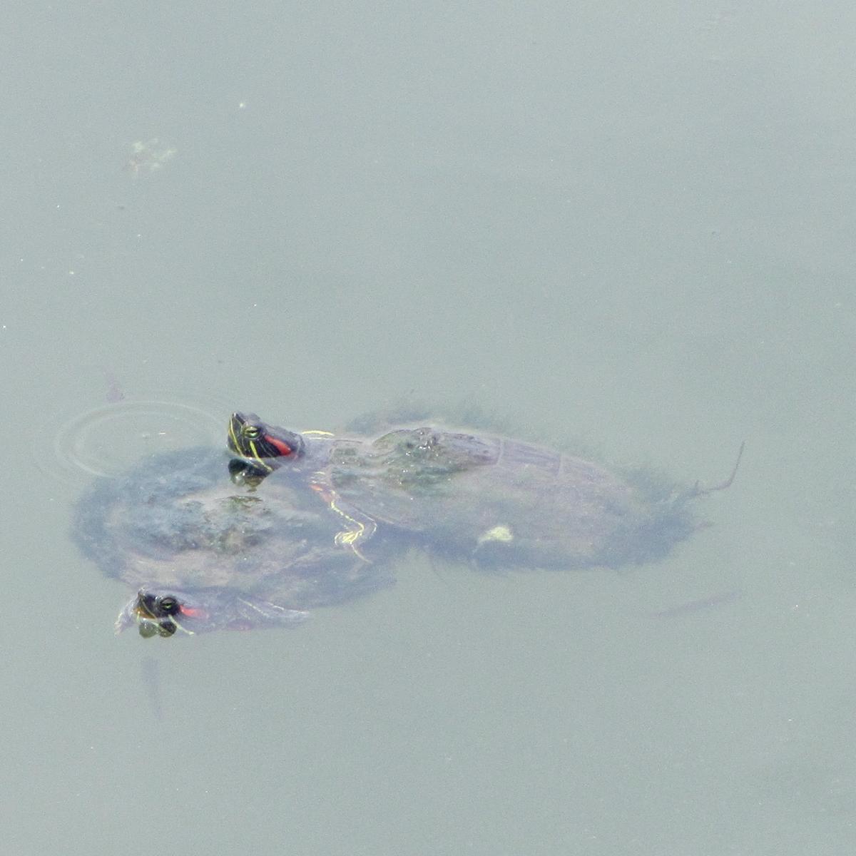 続・縁起が良くて長寿の象徴!『蓑亀』のフリー写真