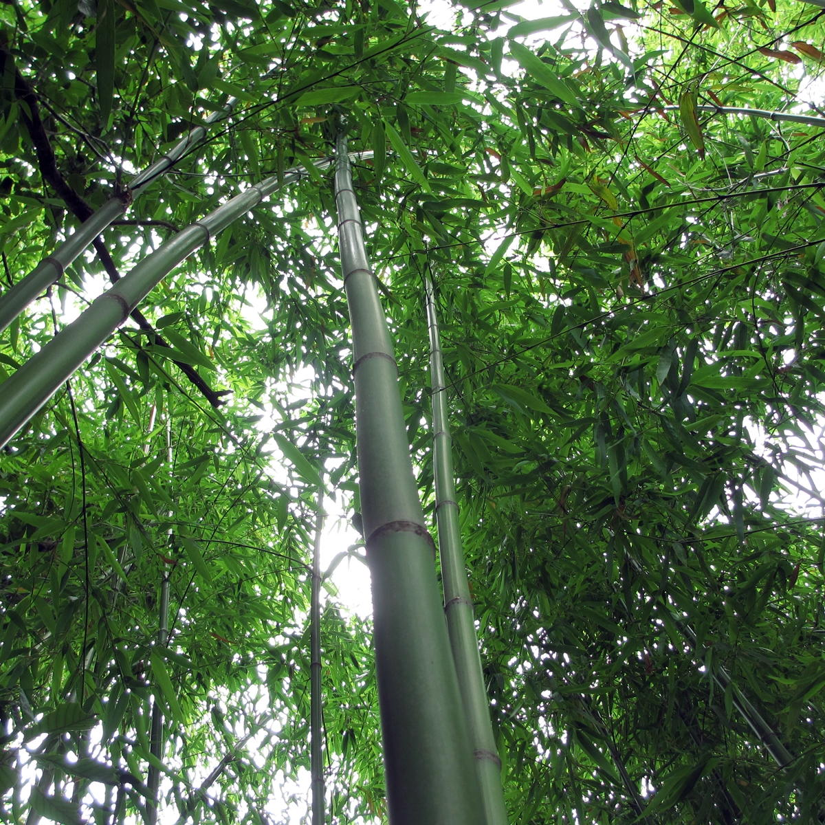 竹のフリー写真20150630 (12)