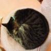 極限まで○!眠っている猫、ニャンモナイトのフリー素材