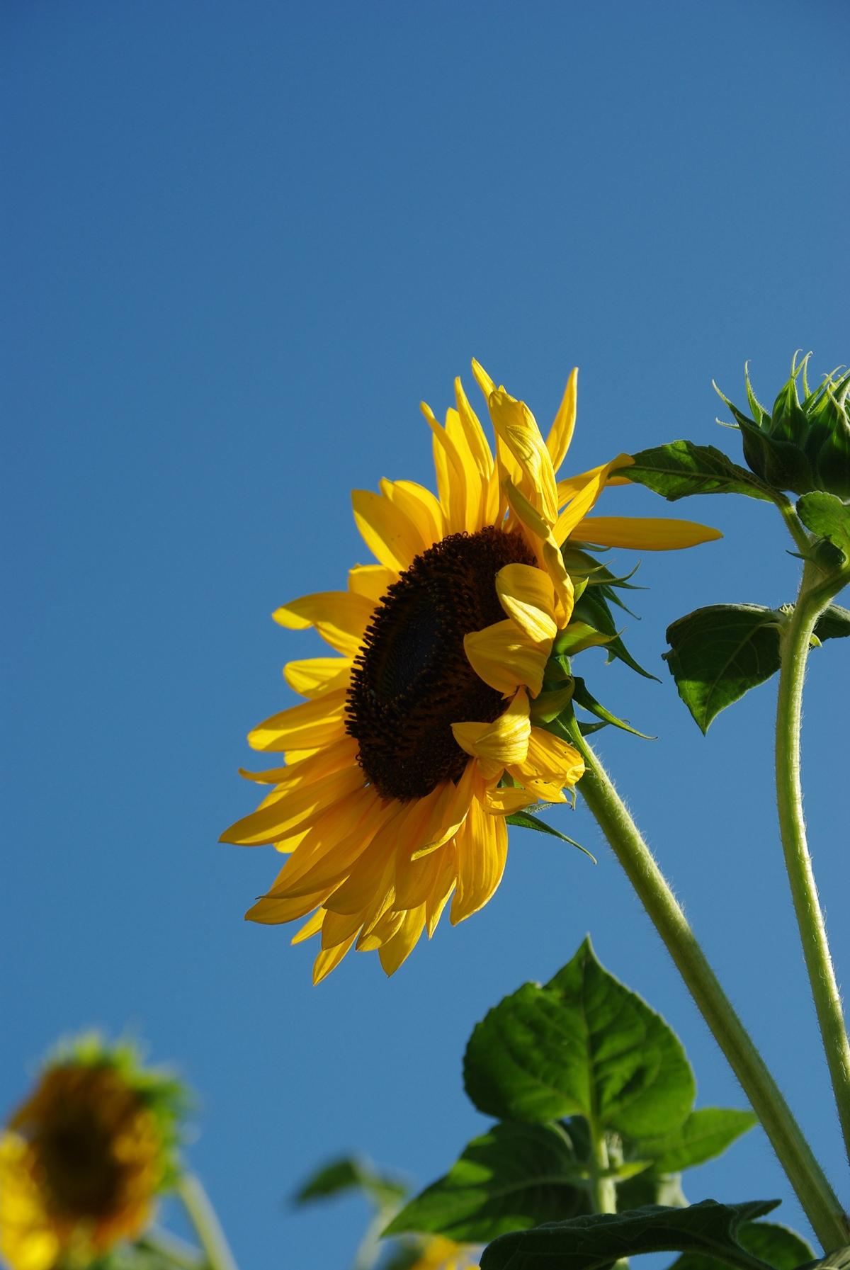 向日葵のフリー写真4