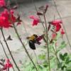 近づきたいけど怖い!花の蜜を吸うダンゴバチの無料写真