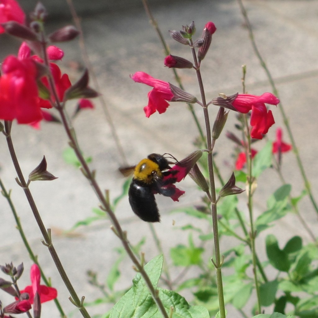 花の蜜を吸うダンゴバチの無料写真-01