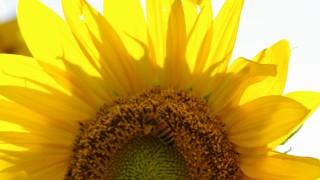 タネはハムスターのエサ♡向日葵(ひまわり)のフリー写真と花言葉