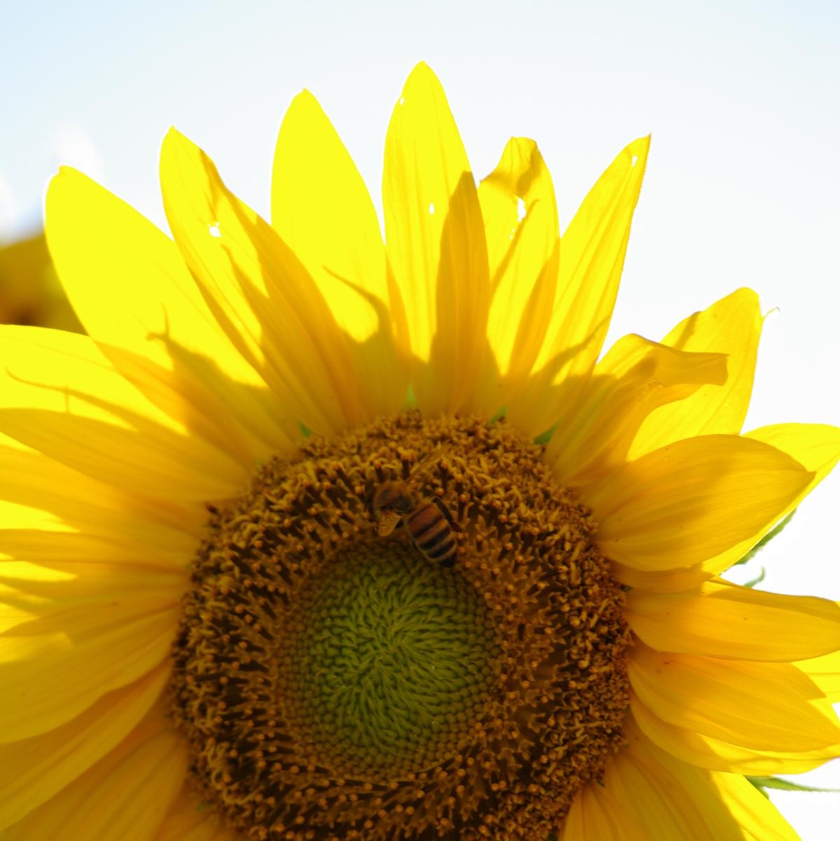 向日葵のフリー写真 アイキャッチ