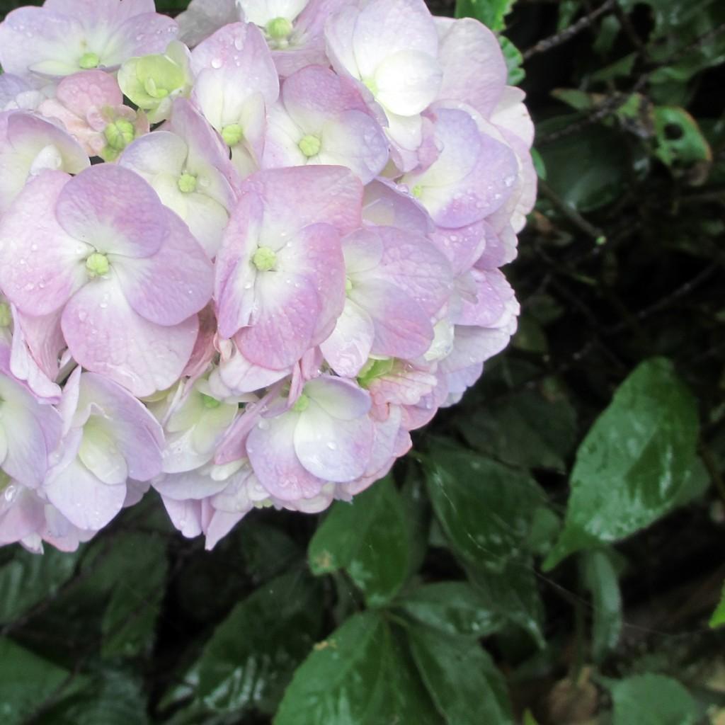 紫陽花20150626 (10)