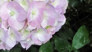 雨の日の紫陽花の無料イラスト