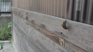 木造の壁に発見!セミの抜け殻の無料写真2015