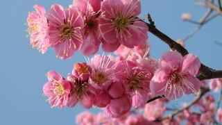 今は寒いけど春は来る!梅の無料写真