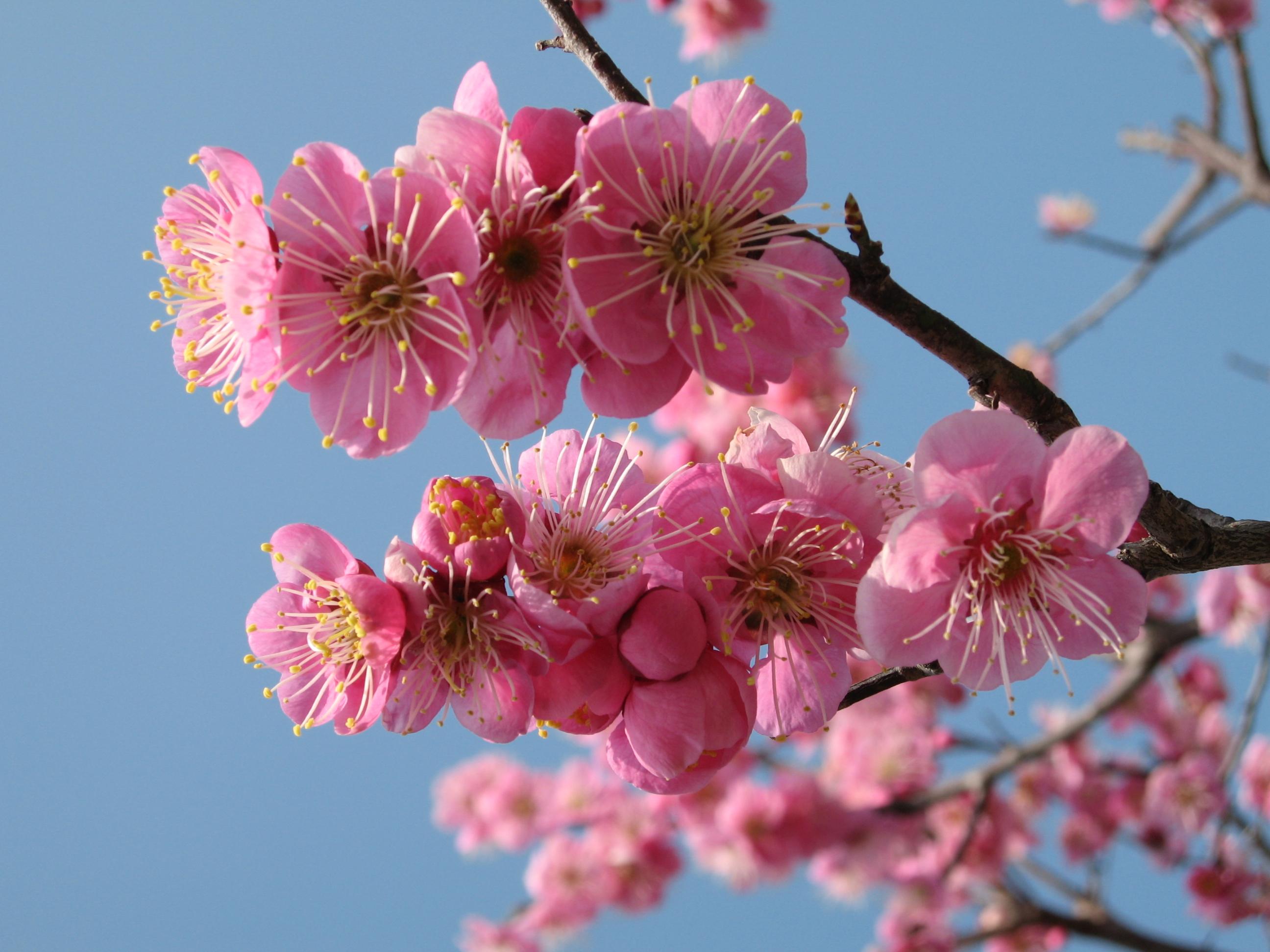梅の花20060307 (2)