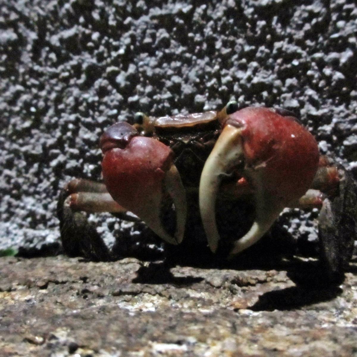 夜、ばったり出会った蟹の写真 (2)