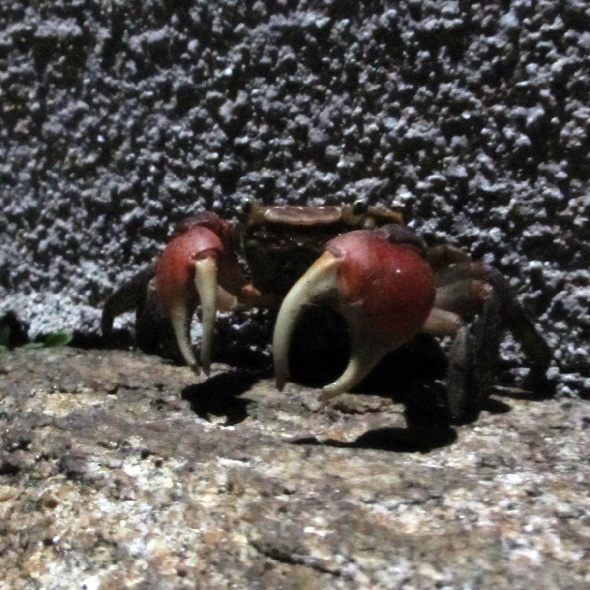 夜、ばったり出会った蟹の写真 (1)