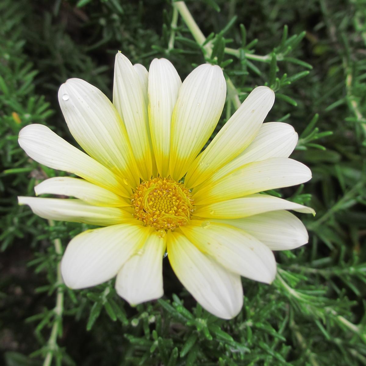 黄色いガーベラ20150624 (11)