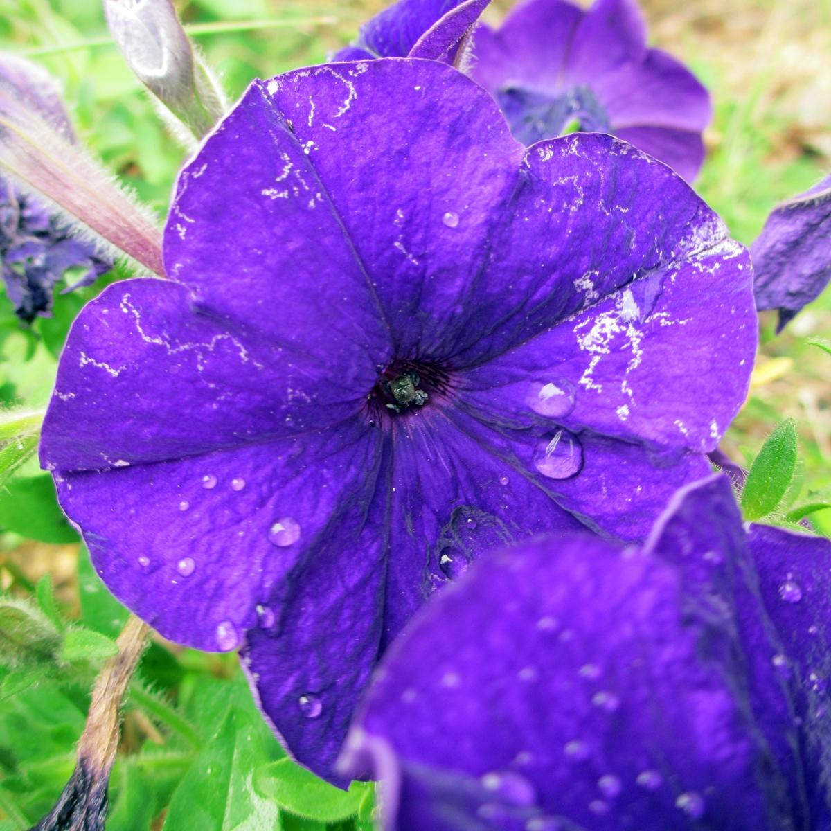 ペチュニア20150624<紫> (3)