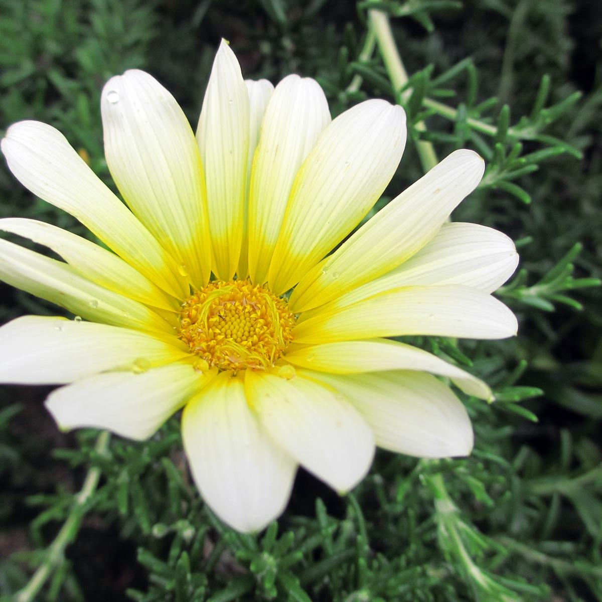 黄色いガーベラ20150624 (1)