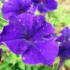 青いペチュニアの無料写真