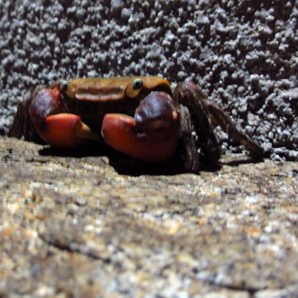 夜、ばったり出会った蟹の写真 (3)