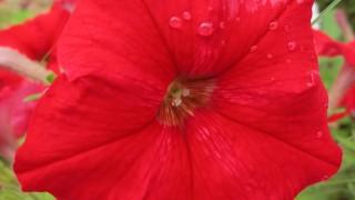 赤いペチュニアの無料写真