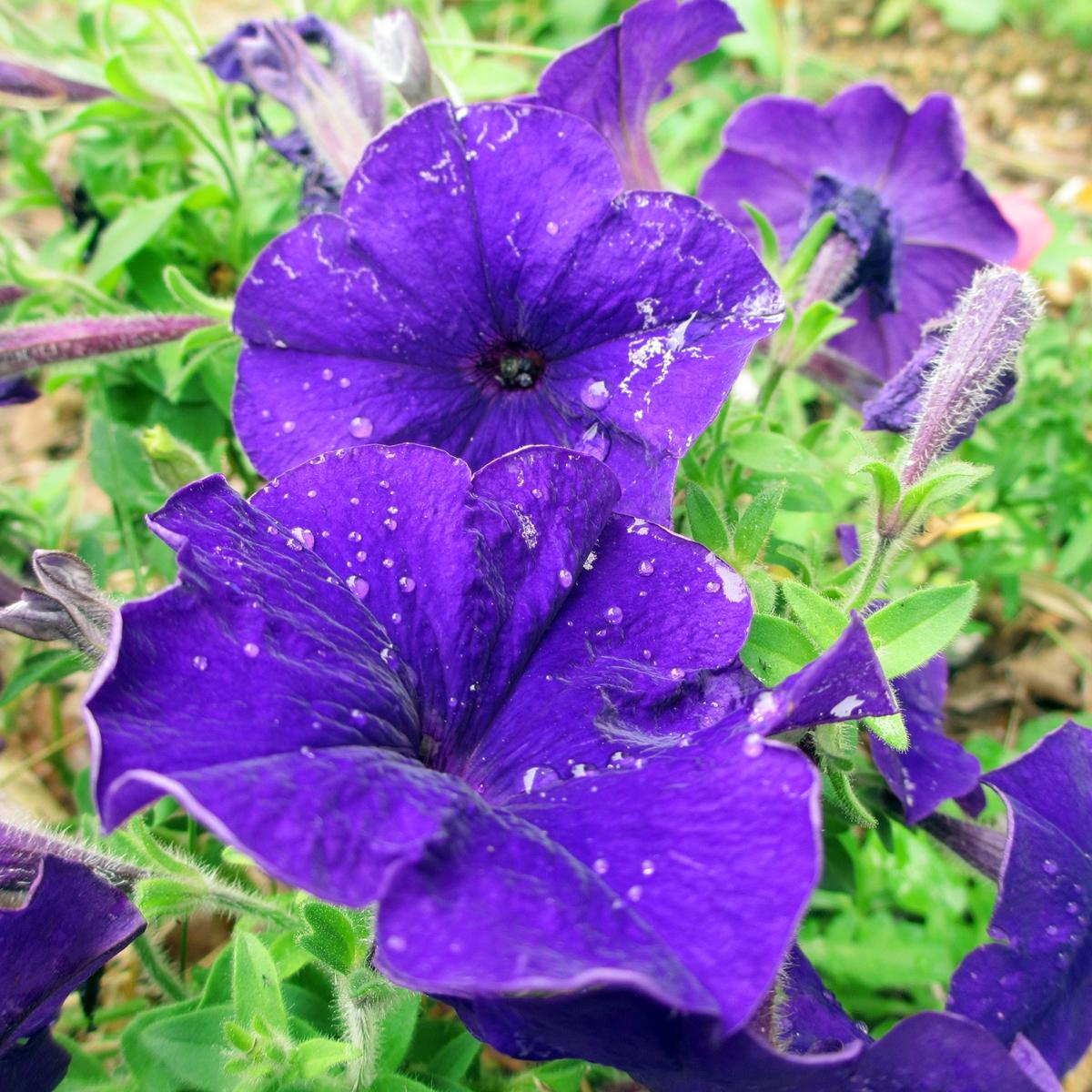 ペチュニア20150624<紫> (5)