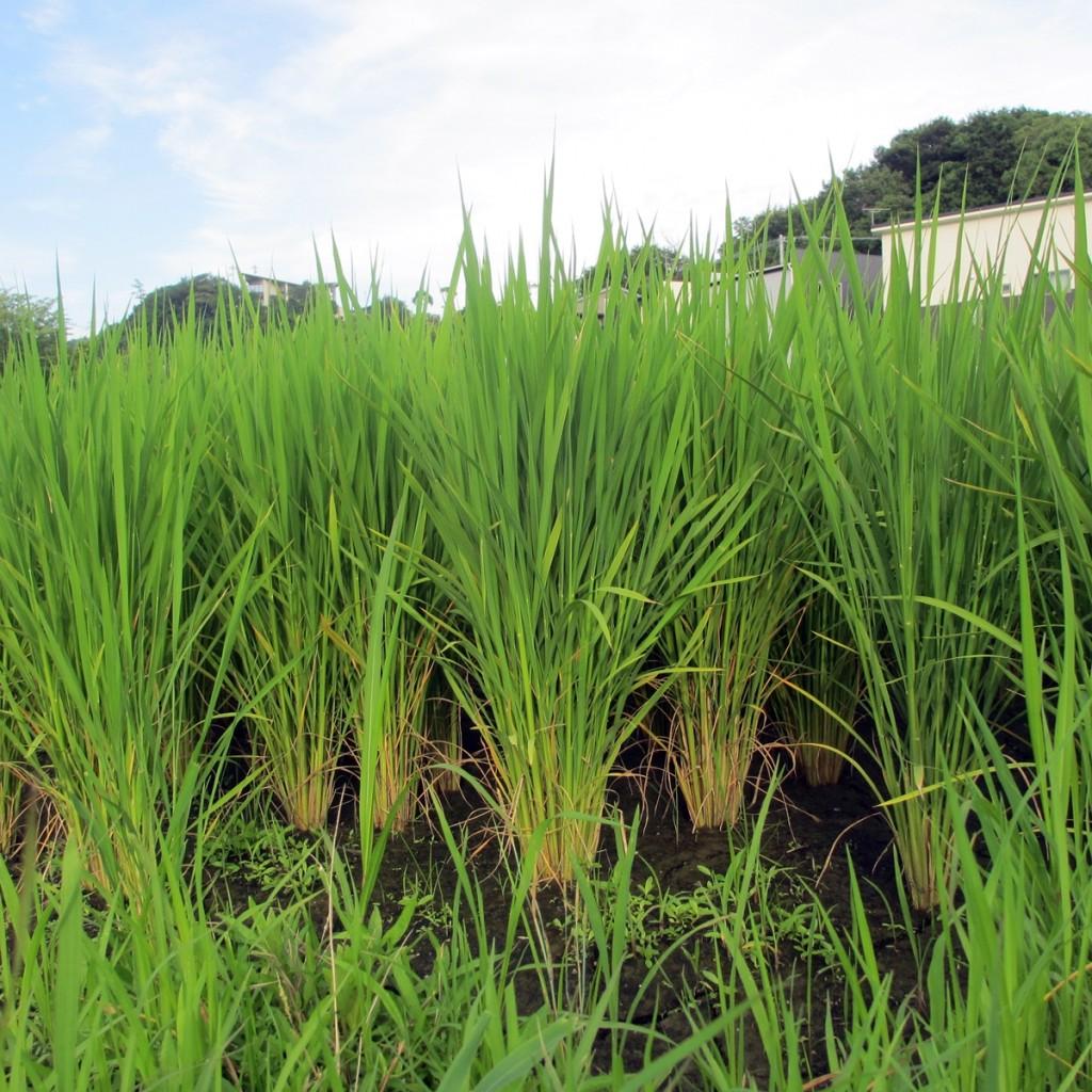 7月の田んぼの稲20150710 (1)