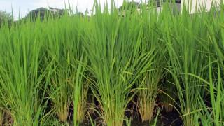 7月の田んぼの稲の無料写真