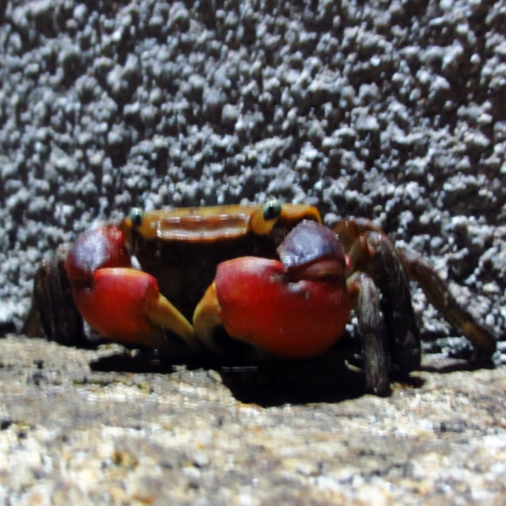 夜、ばったり出会った蟹の写真 (4)
