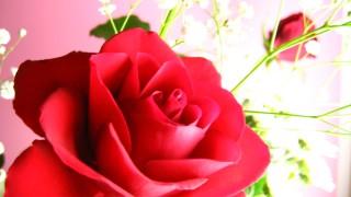 花言葉は『熱烈な愛』♡真っ赤なバラのフリー写真
